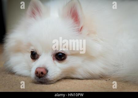 Close up shot of a white pomeranian dog lying down - Stock Photo
