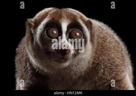 Close-up Lemur Slow Loris Isolated Black background - Stock Photo