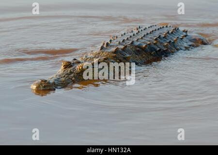 Nile crocodile (Crocodylus niloticus), returning to the water after swallowing a fish, Sunset Dam, Kruger National - Stock Photo