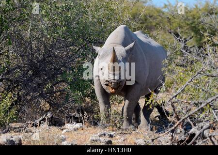 Black rhinoceros (Diceros bicornis), browsing, Etosha National Park, Namibia, Africa - Stock Photo
