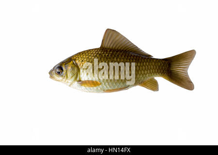 The gold crucian is isolated on a white background - Stock Photo