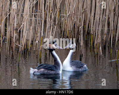 A pair of Great Crested Grebe's make a love heart shape with their necks and beaks while swimming on a reservoir - Stock Photo
