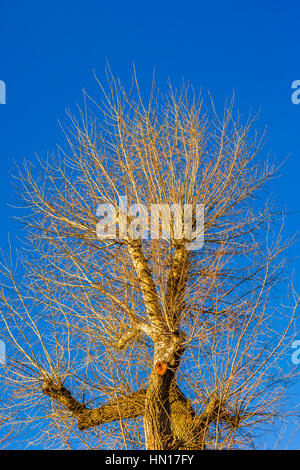 Sunlit old and tall poplar tree with no leaves in the light of the autumn sunset against the background of clear - Stock Photo