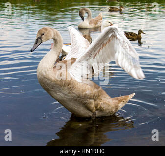 swans with baby birds close up - Stock Photo