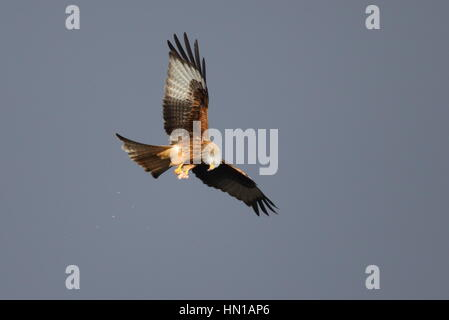 One of 80 plus Red Kites at the feeding station - Stock Photo