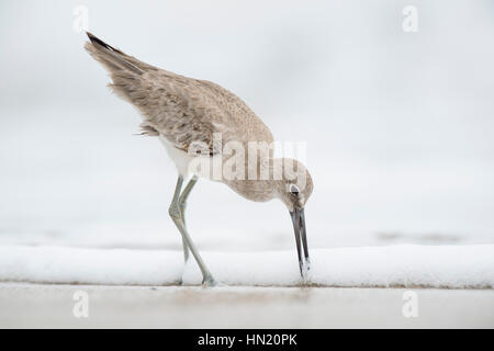 A Willet pushes its long bill into the wet sand on a beach in soft overcast light with a solid white background. - Stock Photo