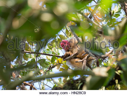 A white Uakari Monkey, Cacajao calvus, on branch of tree in the Amazon jungle. - Stock Photo