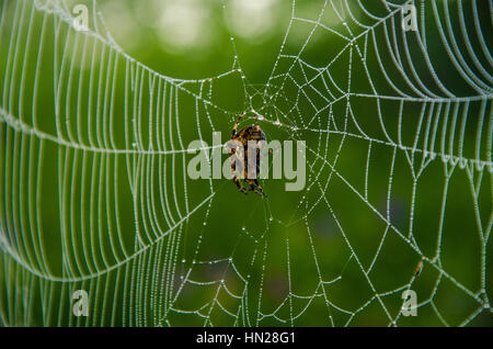 Wide Web plays in the wind. on a green lawn in the early foggy morning . dew on the lush green grass a summer misty - Stock Photo