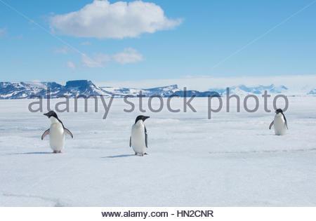 A group of Adelie penguins, Pygoscelis adeliae, walk along the sea ice off the Antarctic Peninsula. - Stock Photo