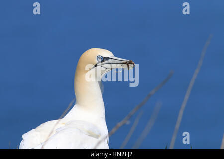 Gannet with nesting material in its beak against a blue background - Stock Photo
