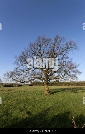 Oak tree without leaves in Autumn and Winter, a series shot from the same camera position.. - Stock Photo