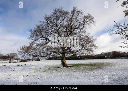 Oak tree without leaves in Autumn and Winter, a series shot from the same camera position. - Stock Photo