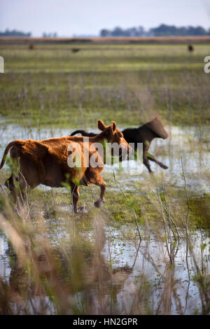 Cows running in the Argentine pampas. - Stock Photo