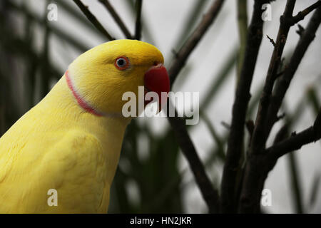 Yellow Ring Neck Parrot with Red Beak - Stock Photo