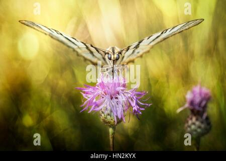 Butterfly sucking the nectar from a thistle. - Stock Photo