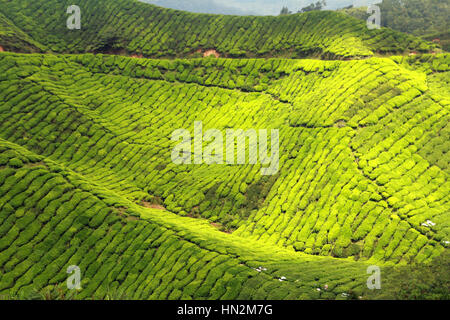 Beautiful Nature, Green Tea Plantation Landscape At Sunny Day ...