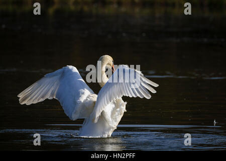 Mute Swan (Cygnus olor) shaking feathers. Lower Silesia. Poland. - Stock Photo