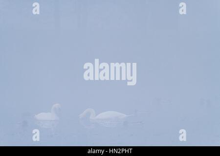 Two Mute Swans (Cygnus olor) feeding on water. Lower Silesia. Poland. - Stock Photo