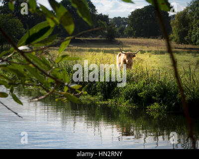 Highland Cow in Field by a River - Stock Photo