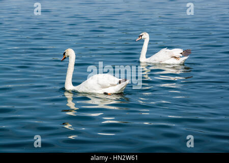 Two swans swimming together in a lake - Stock Photo