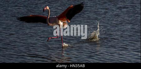A greater  flamingo in the Camargue landing on the water at sunset.park ornithologique de pont de gau - Stock Photo