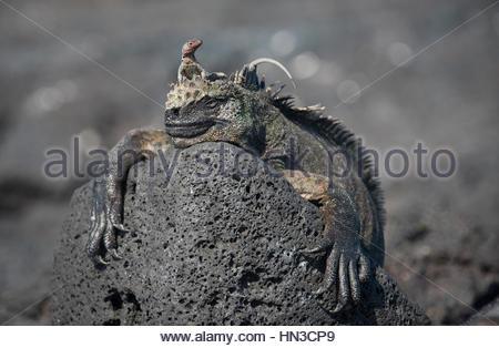 A lava lizard, Microlophus, rests on top of a Marine Iguana Amblyrhynchus cristatus, on Fernandina island. - Stock Photo