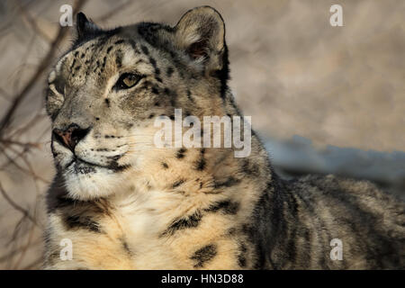 A Snow Leopard from the Oklahoma City Zoo. - Stock Photo