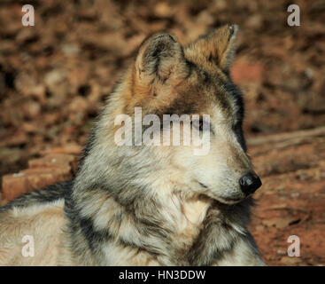 A Mexican Grey Wolf from the Oklahoma City zoo. - Stock Photo