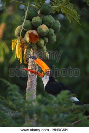 A toco toucan, Ramphastos toco, feeding on papaya in the Pantanal region of Brazil. - Stock Photo