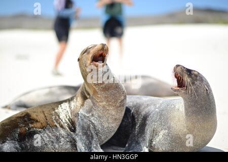 A pair of Galapagos sea lions, Zalophus Wollebaeki, on beach. - Stock Photo