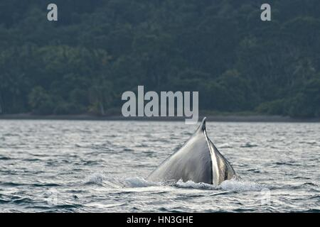 A humpback whale, Megaptera novaeangliae, in the Pacific Ocean off Gorgona Island. - Stock Photo