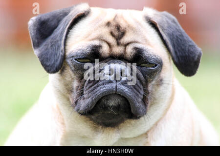 Super cute pug dog giving her best smile for the camera - Stock Photo