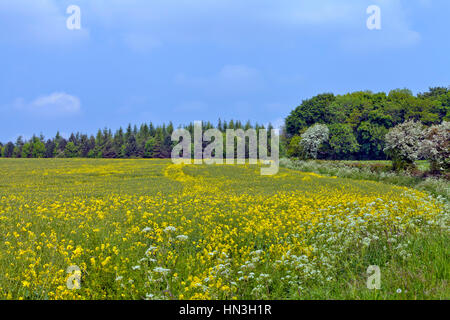 Yellow flowering rapeseed field mixed with wildflowers on the edge of a forest in an English countryside, on a summer - Stock Photo
