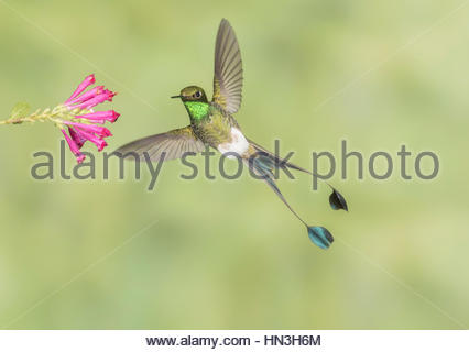 Male Booted Racket-tail hummingbird with wings and split tail spread hovers at a flower. - Stock Photo