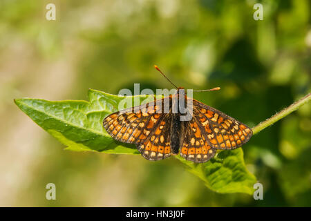 Tiny rare Marsh Fritillary butterfly, Euphydryas aurinia, resting on a leaf with wings open - Stock Photo