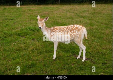 Single Fallow Deer doe, Dama dama, standing sideways on facing camera on grass in parkland - Stock Photo