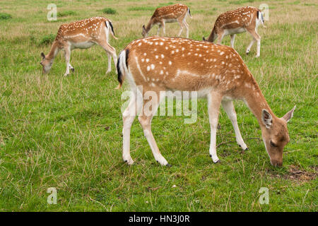 Four Fallow Deer does, one in foreground, three behind, grazing in field standing sideways on - Stock Photo