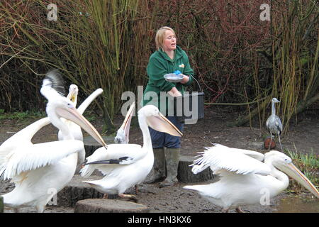 Feeding Great White and Pink-backed Pelicans, Birdworld, Holt Pound, Farnham, Surrey, England, Great Britain, United - Stock Photo