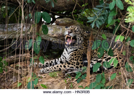 A Jaguar, Panthera onca, yawning in the forest. - Stock Photo