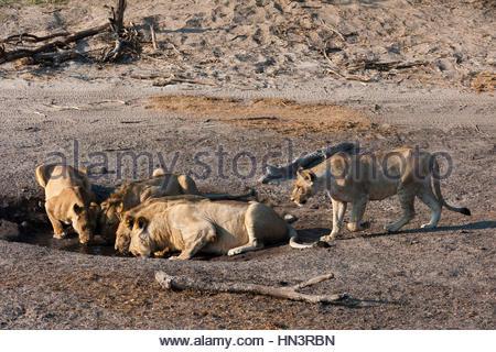 A lion pride, Panthera leo, drinking at a small waterhole in Chobe National Park's Savuti marsh. - Stock Photo