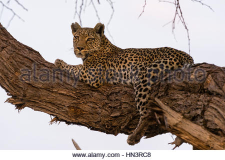 A leopard, Panthera pardus, Khwai concession, resting in a tree in the Okavango Delta's Khwai concession. - Stock Photo