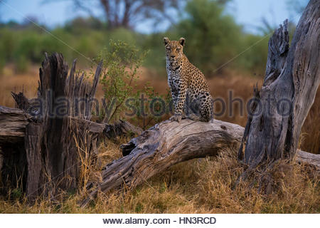 A leopard, Panthera pardus, standing on a dead fallen tree in the Okavango Delta's Khwai concession. - Stock Photo