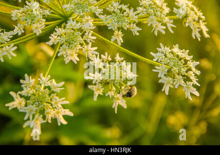 on a green lawn in the early foggy morning . dew on the lush green grass a summer misty morning. the sun's rays fall on the wet grass and flowers. Flo