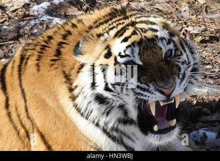 Primorye Territory, Russia. 7th Feb, 2017. An Amur tigress called Ussuri in an open enclosure at the Primorye Safari - Stock Photo