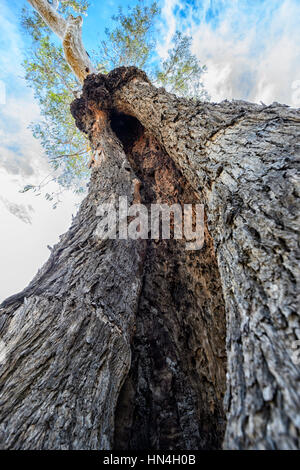 A Canoe Tree used by Aborigines and later damaged by termites, Bindara Station, New South Wales, NSW, Australia - Stock Photo