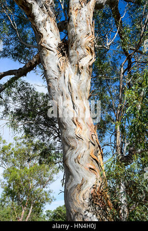 The 'Zig-Zag Tree', a eucalyptus with wavy bark, Bindara Station, New South Wales, NSW, Australia - Stock Photo
