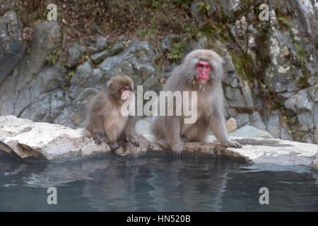 Snow monkeys or Japanese macaques (Macaca fuscata) at Jigokudani Monkey Park, Japan, Asia. Japanese wildlife, Asian - Stock Photo