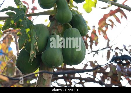 Papayas growing on papaya tree - Stock Photo