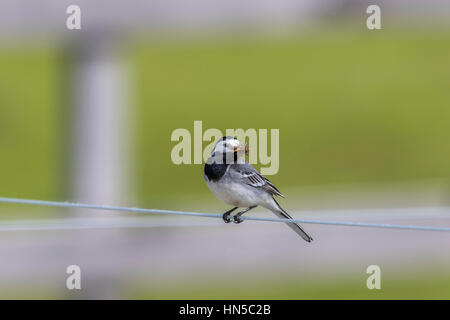 Wagtail sitting on a wire with a beak full of insects - Stock Photo