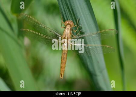Broad Scarlet, Scarlet Darter, (Crocothemis erythraea), female - Stock Photo
